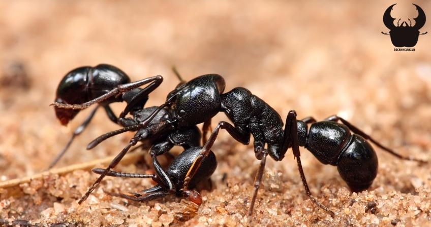 5 Loài kiến hung dữ nhất hành tinh – Thế giới côn trùng