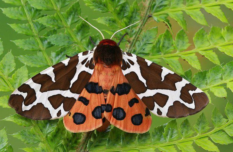 10 sự thật thú vị về bướm đêm