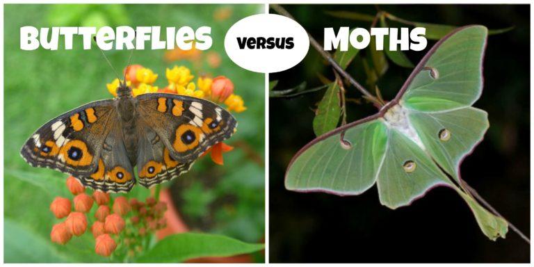 Sự khác biệt giữa bướm và bướm đêm