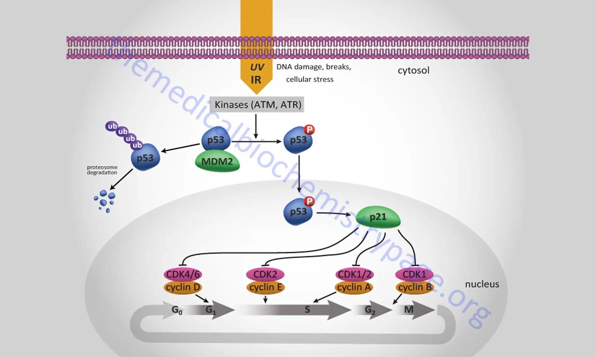 image of p53-regulate-p21