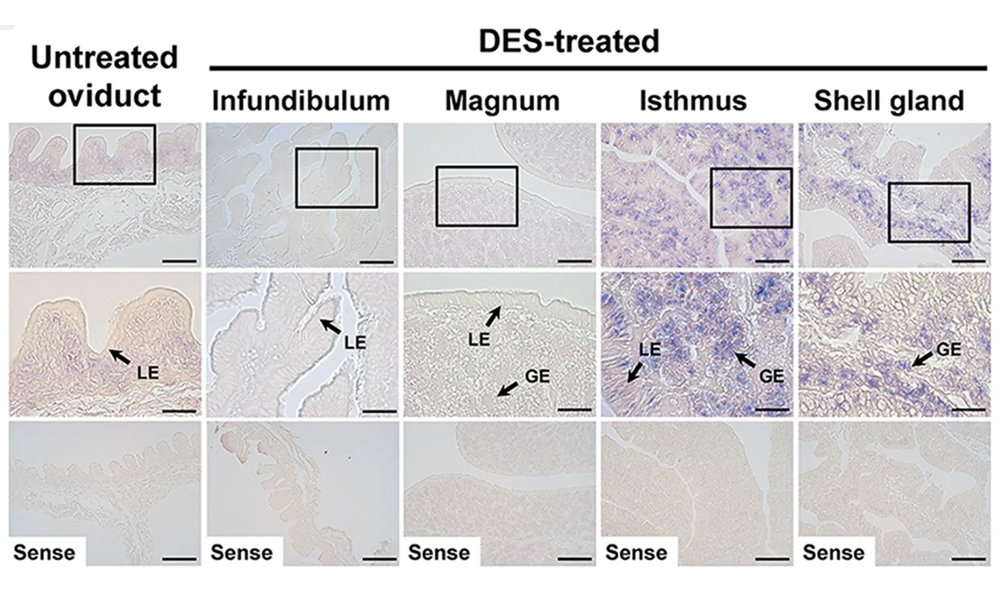 image of Effect of DES on tissue-specific expression of chicken WNT4