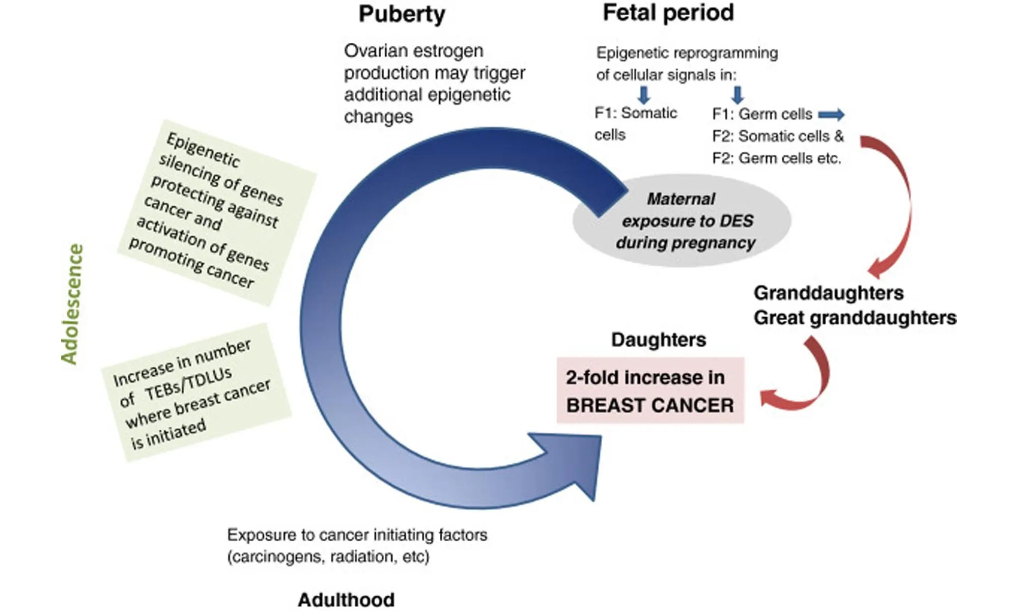image of Epigenetic alterations induced by in utero diethylstilbestrol exposure