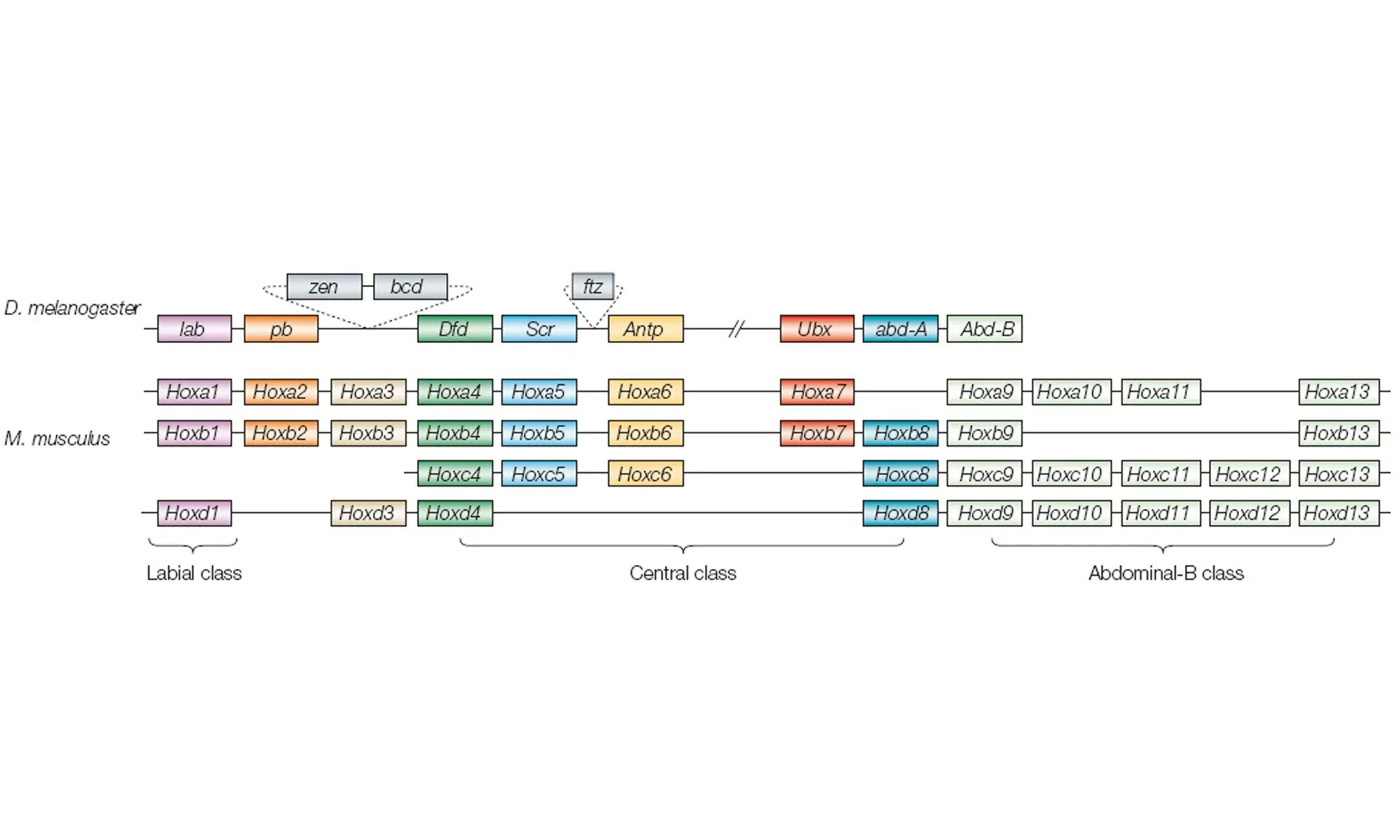 image of hox genes