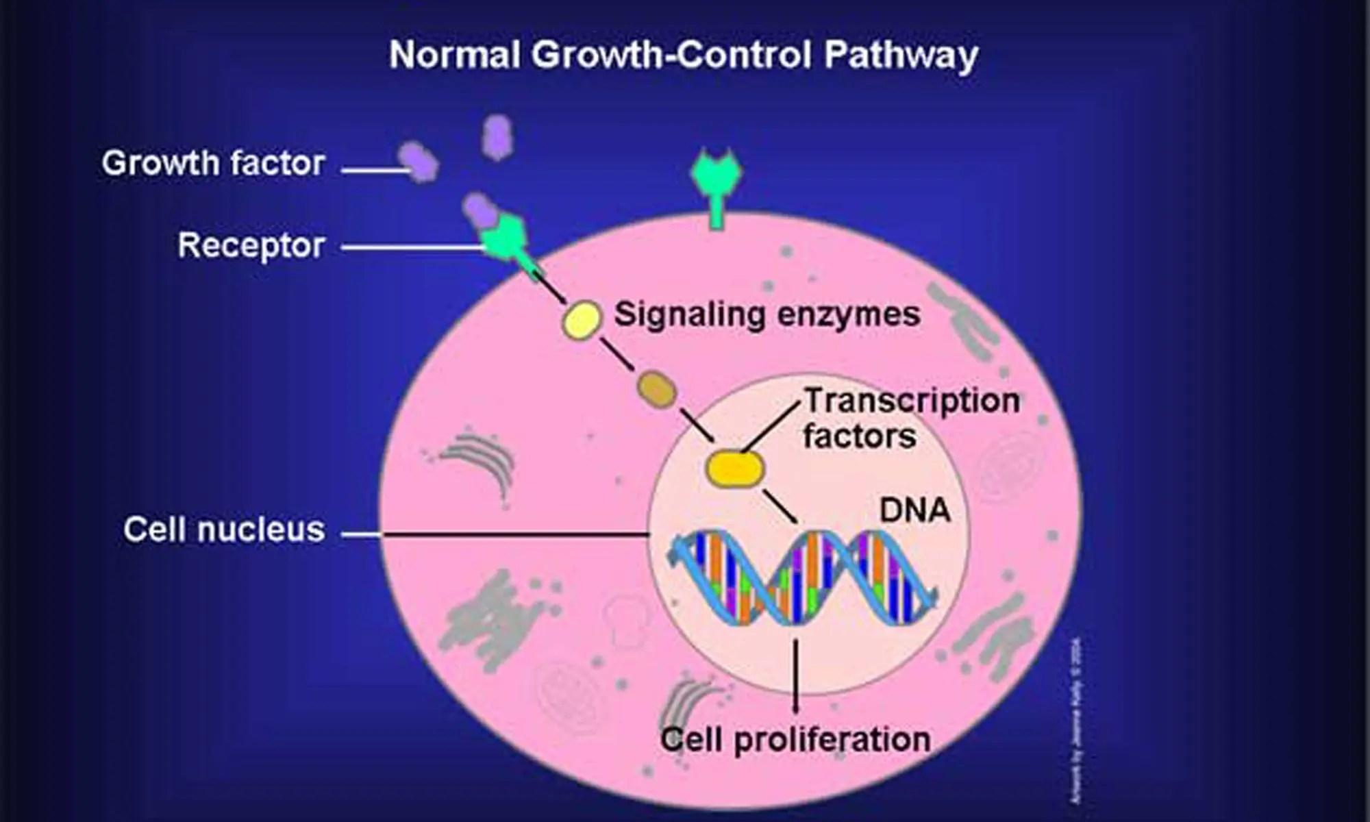 image of Proto-Oncogenes