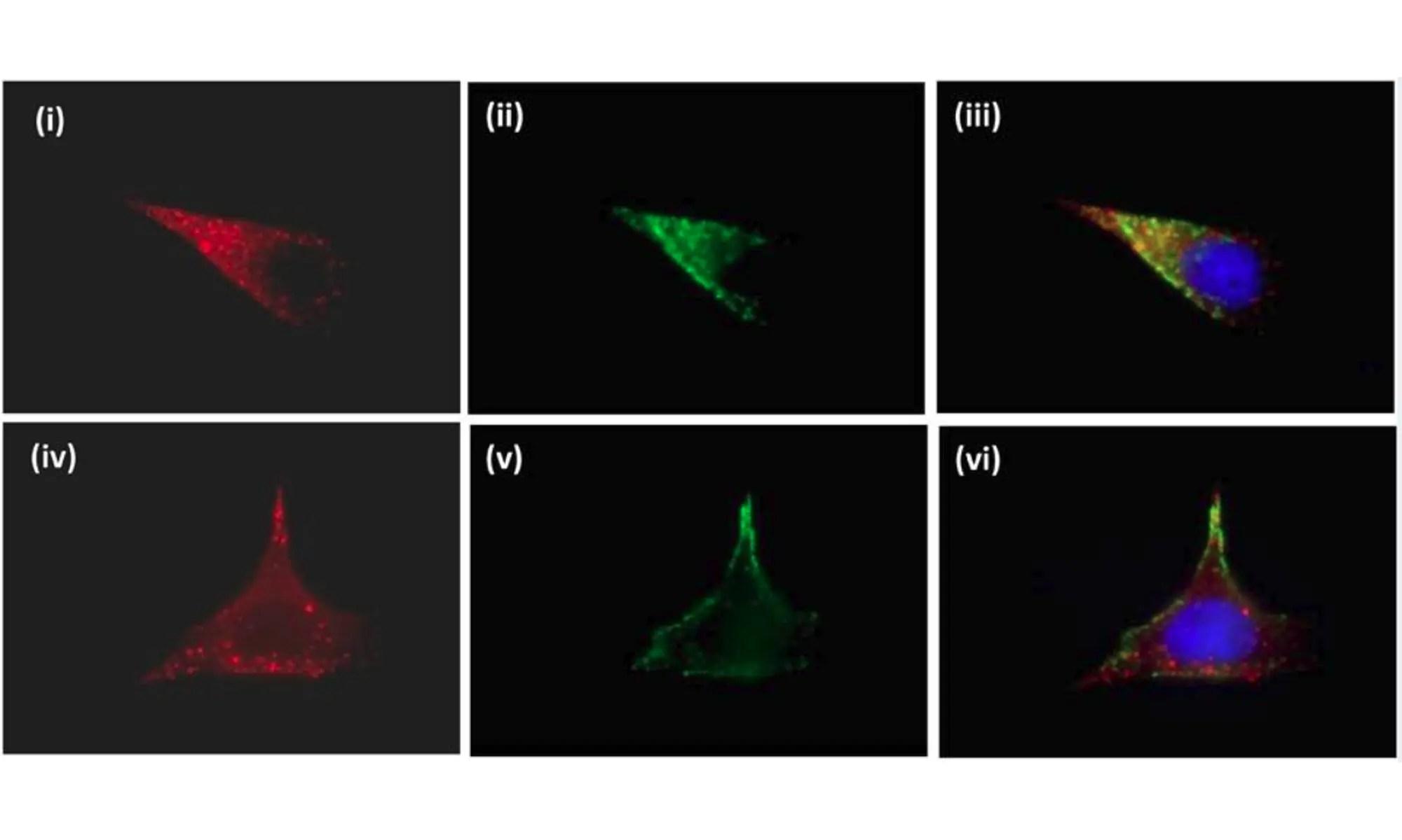 Pituitary tumor transforming gene binding factor