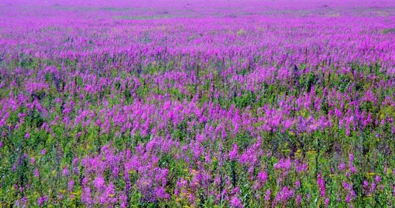 поле иван-чая