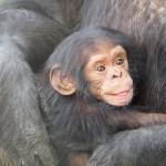 Schimpansenfleisch-Verzehr: Furchtbarer Trend breitet sich aus
