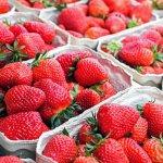 Herbst-Erdbeeren – Dank Plastikfolie haben die Sommerfrüchte immer noch Saison