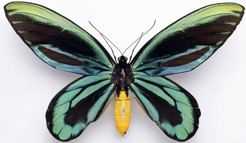 mariposas gigantes