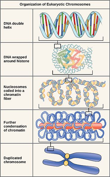 Chromosome Vs Chromatin Difference Between Chromatin Fiber And Chromosome