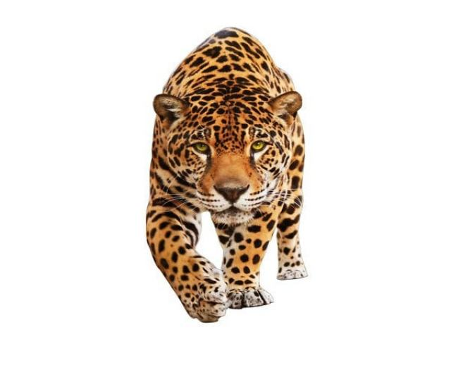 Jaguar Vs Panther