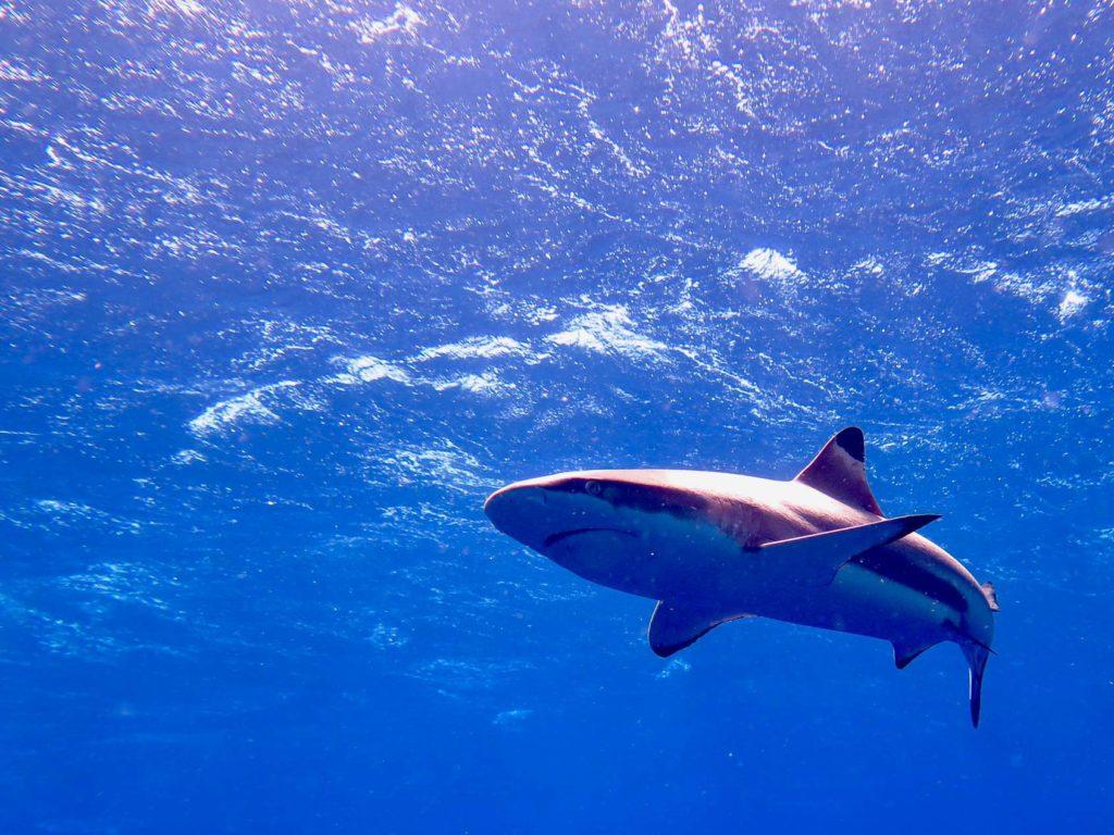 Un requin annonce le mur de requins de Fakarava en Polynésie.