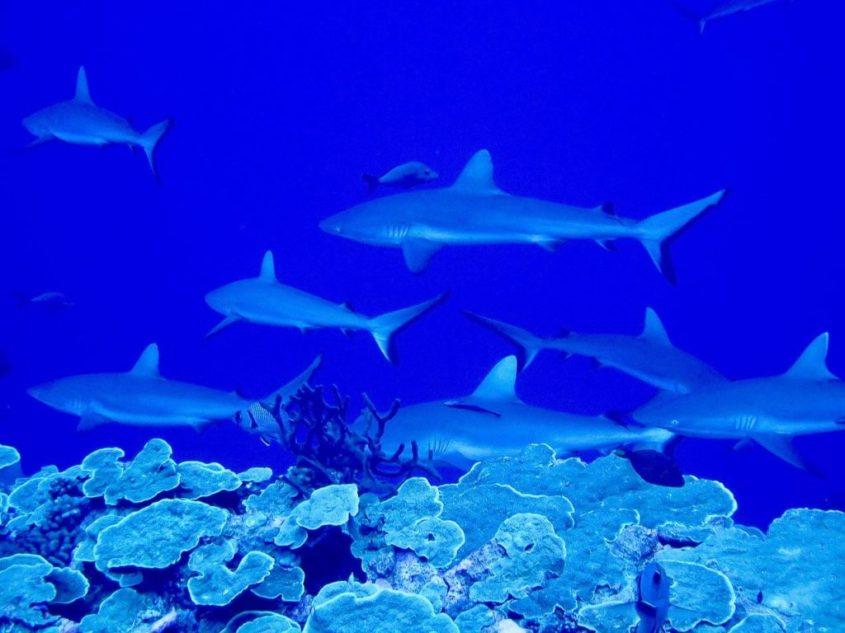 Des requins partout dans le mur de requins de Fakarava.