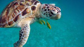 Une tortue marine avec ses poissons