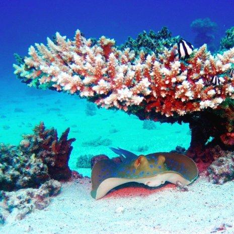 Une raie posée en dessous du corail