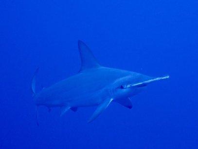 Un requin marteau dans les eaux des Brothers en Egypte