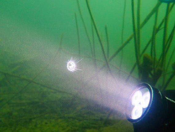 Une lampe de plongée éclaire une méduses d'eau douce