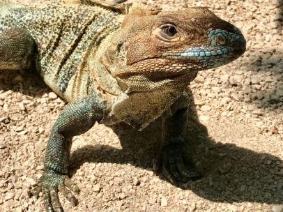 Un iguane lors d'un séjour pour plonger au Costa Rica.