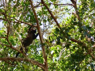 Un singe bondit d'une branche à l'autre .