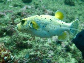 Un poisson coffre blanc et jaune