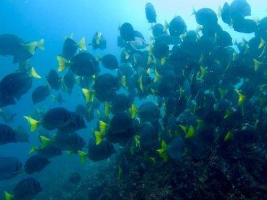 Un mur de poissons chirurgiens