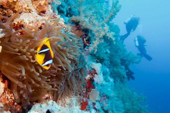 Un poisson clown sur son anémone devant des plongeurs à Elphinston