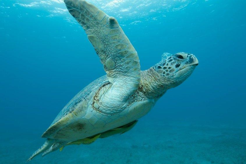 Une tortue évoluant dans l'eau claire