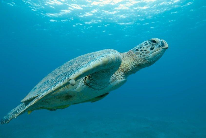 Une tortue qui nage vers la surface