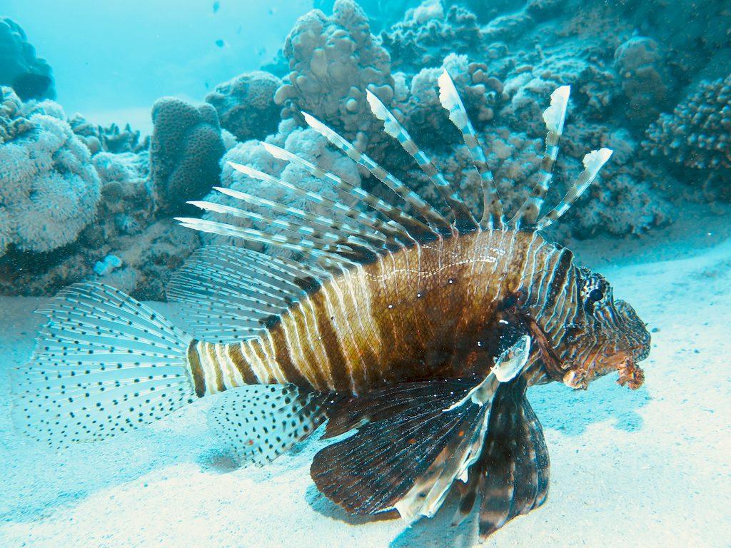 Danger avec les animaux marins : le poisson lion est redoutable