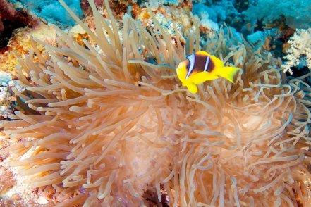 Des anémones et poissons -clowns peuvent être observés en allant plonger à Elphinstone