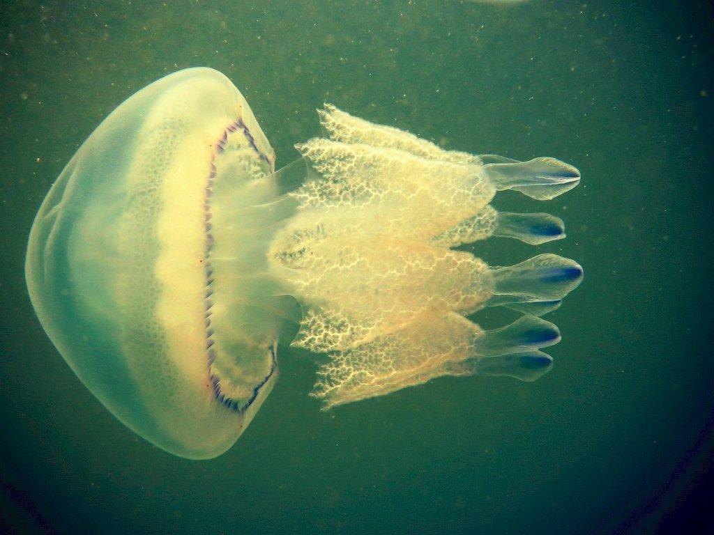Danger avec les animaux marins : une méduse en Zélande