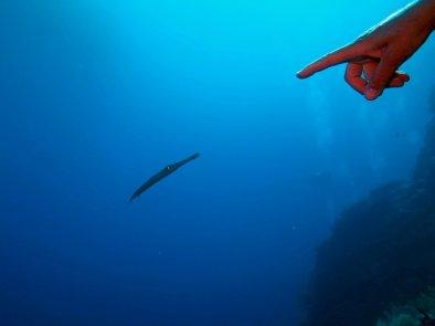 Une plongeuse pointe son doigt vers un poisson-trompette