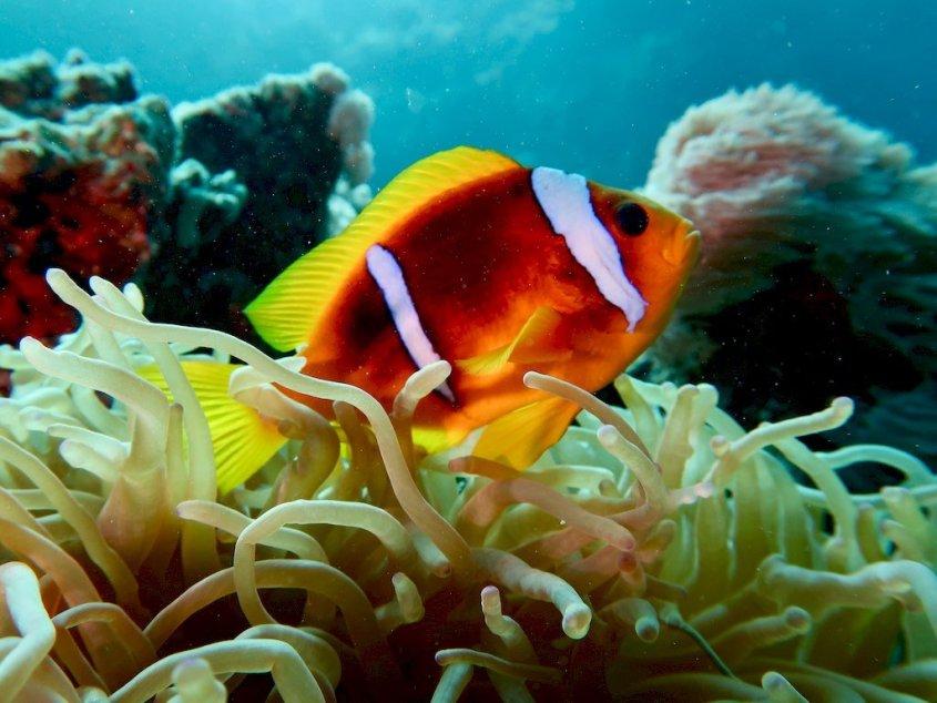 Un poisson clown dans une anémone