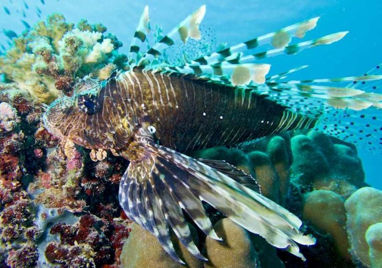Lion fish's sting: that's why we must be careful!