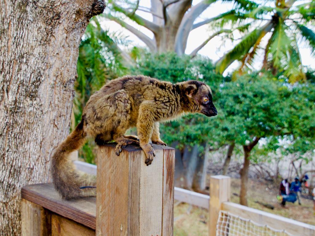 Un lémuriens à l'hotel O'lolo à Mayotte