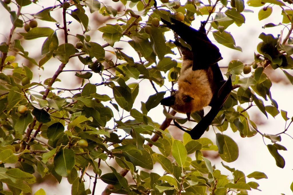 Une chauve souris Roussette à Mayotte