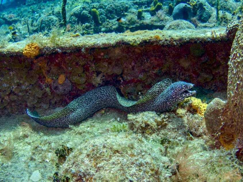 Une murène en pleine eau lors d'une plongée en Jamaïque