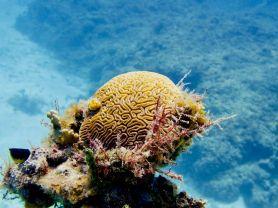 Du corail cerveau