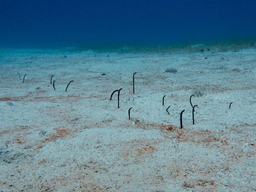 Des anguilles jardinières sortent du sable