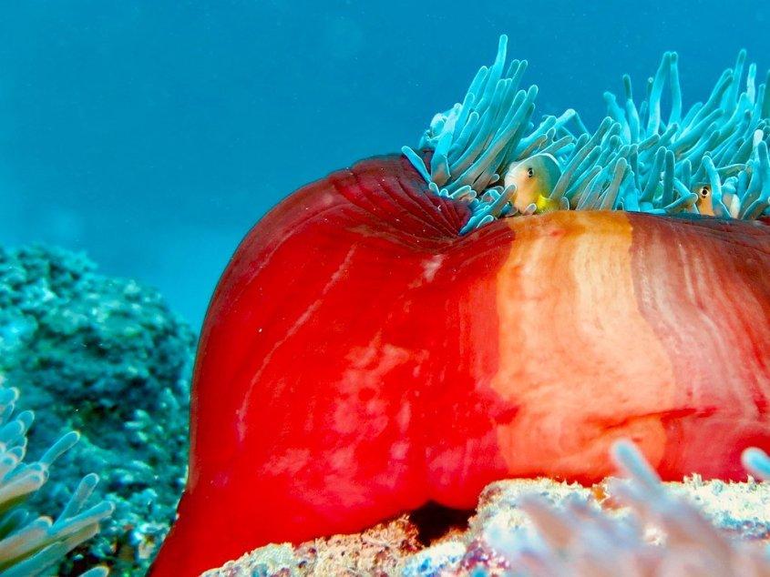 Une belle anémone rouge avec ses poissons clowns dans les fonds marins de Mayotte