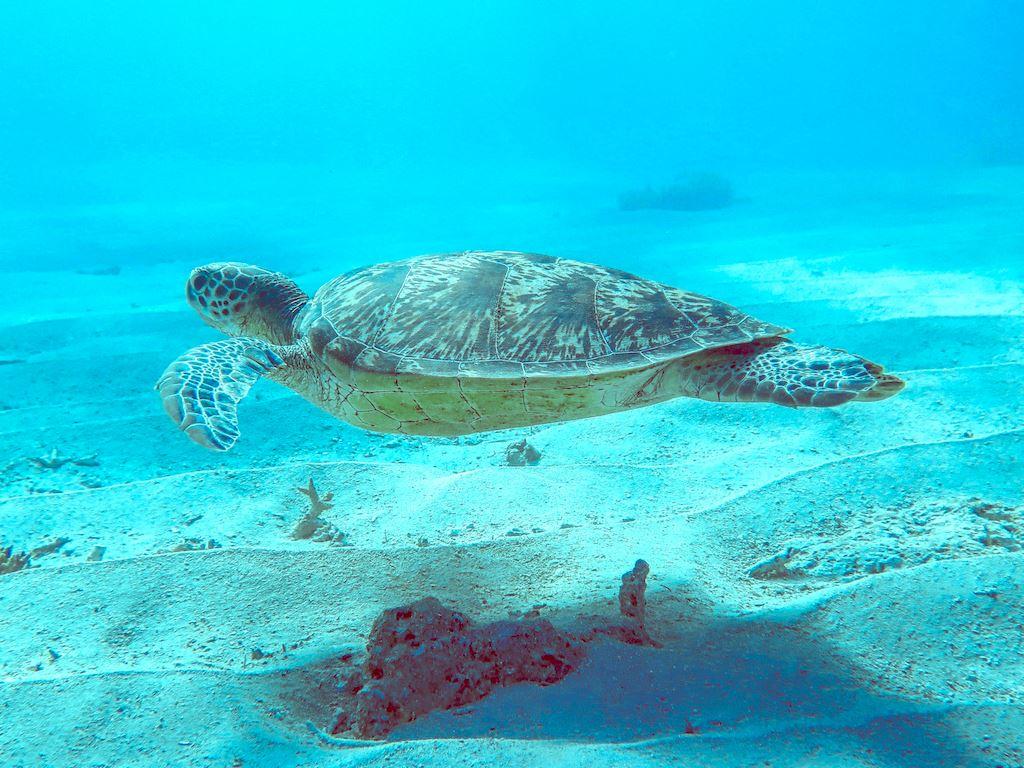 Une tortue se laisse aller paisible dans le courant de la passe en S et est photographié par un plongeur venu plonger à Mayotte