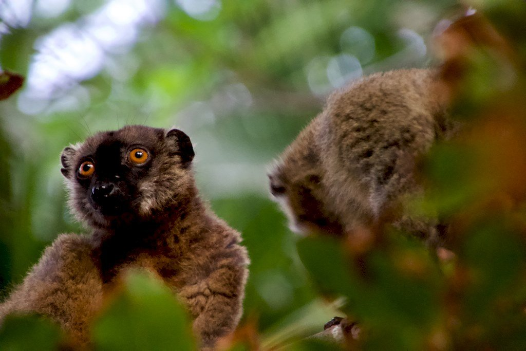 Des lémuriens dans les environs de l'hotel du Jardin Mahoré