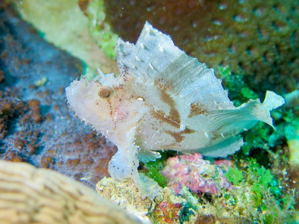 Un poisson feuille blanc lors d'une plongée à Mayotte