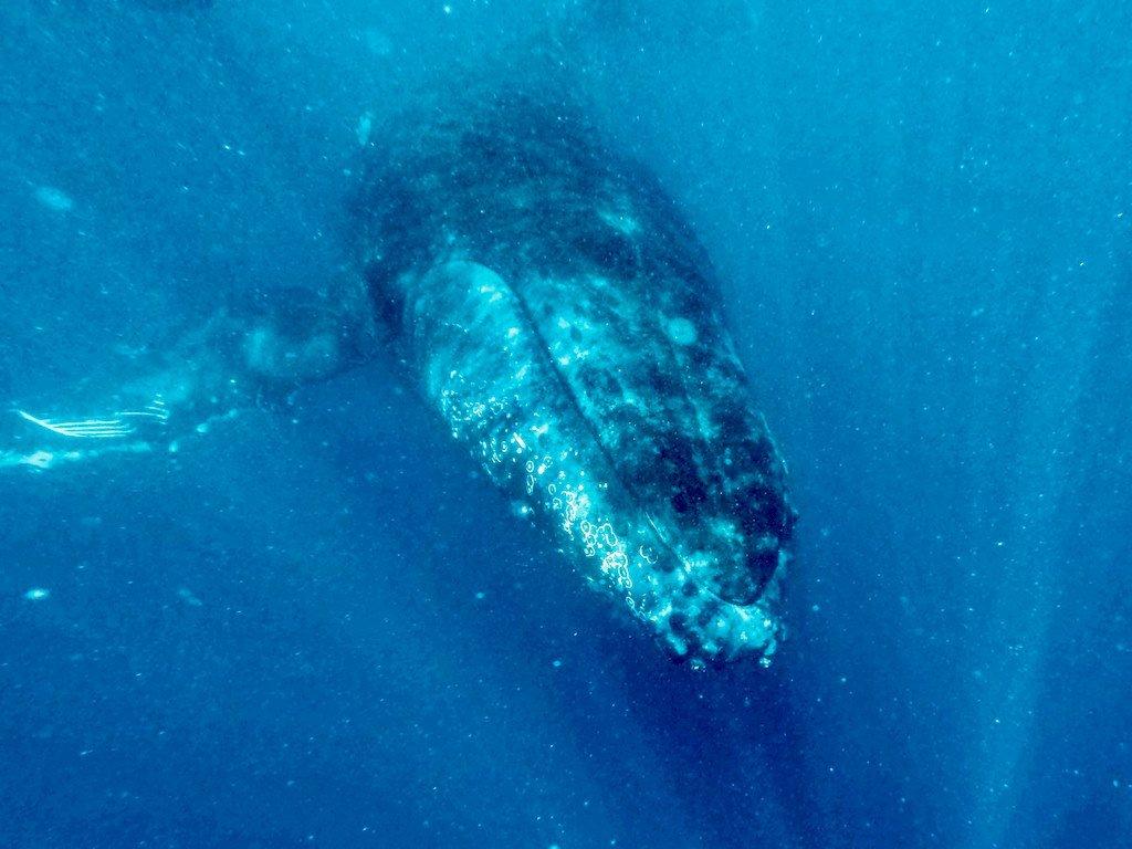 Une baleine aperçue Los d'une plonger avec les baleines à Mayotte