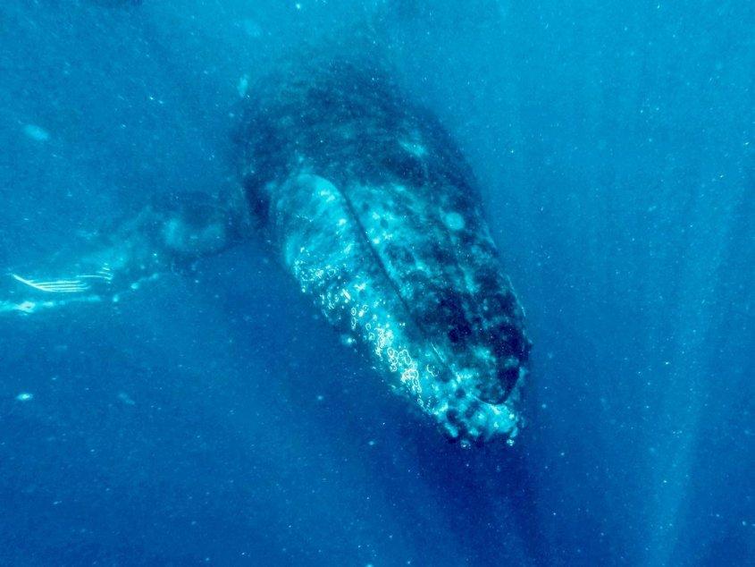 Une baleine aperçue lors d'une plonger avec les baleines à Mayotte