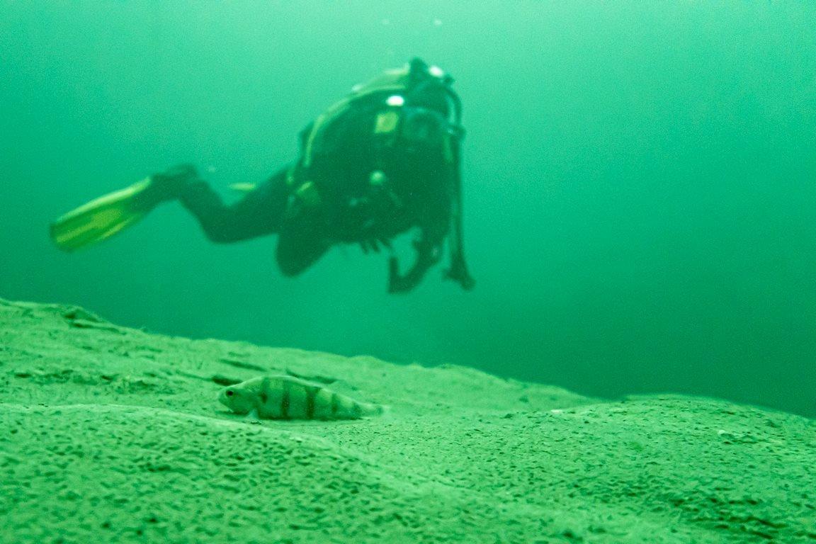 Une petite perche est posée sur une roche au fond de l'eau
