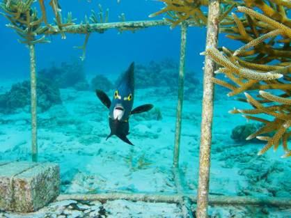 Une culture de corail