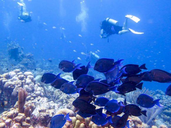 Un banc de poissons bleu dans l'eau chaude de Bonaire.