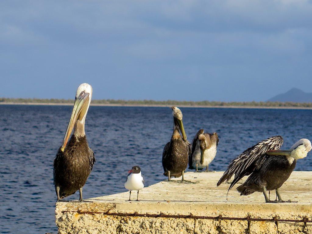 Des pélicans se reposent sur un ponton en béton à Bonaire.