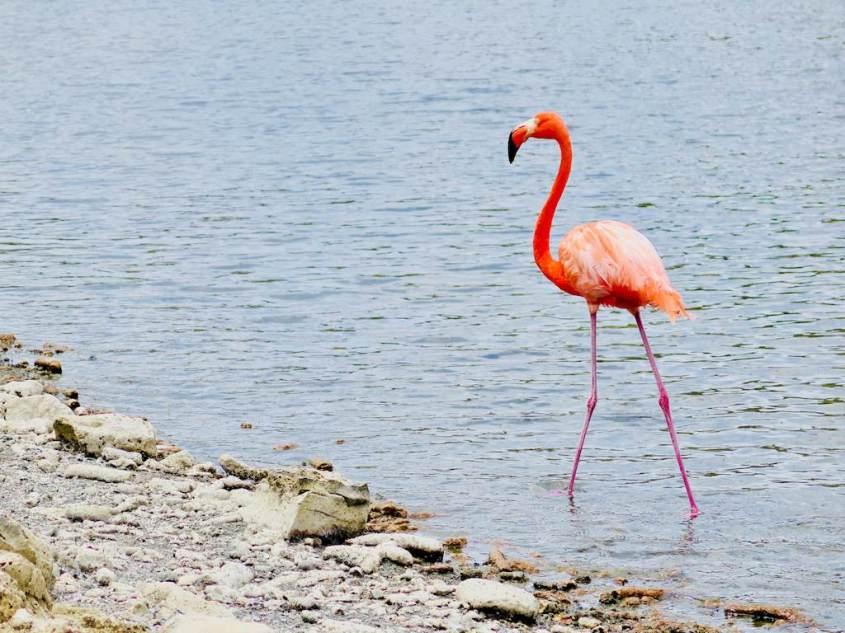 Un flamant rose dans l'eau de Bonaire